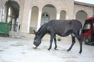 Esel am Andreaskloster, im Norden der Türkischen Republik Nord-Zypern