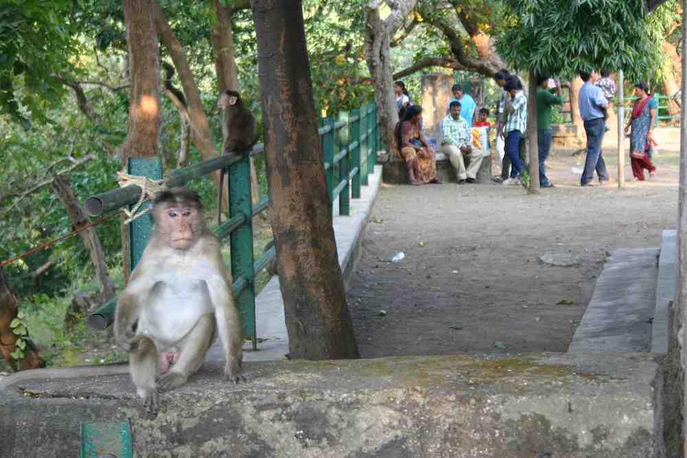 Affe auf Elephant Island
