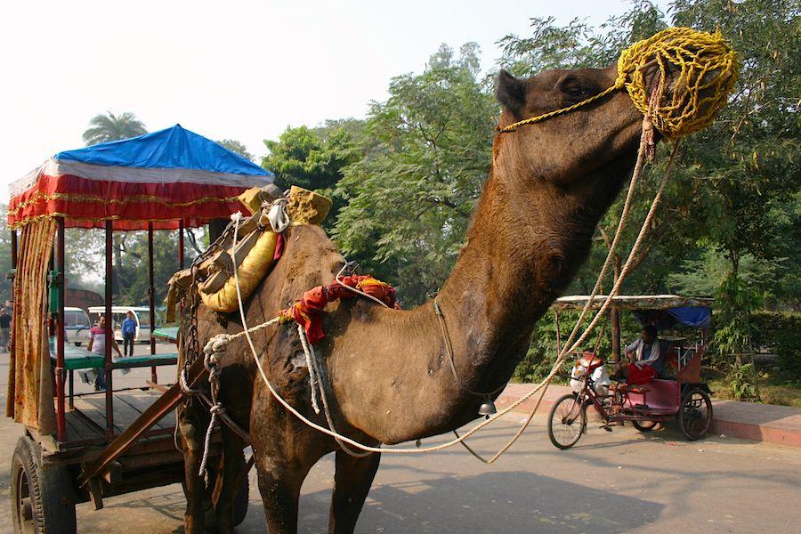 Kamel, oder Rischka: Der Fotograf ging lieber zu Fuß, Foto: Robert Niedermeier