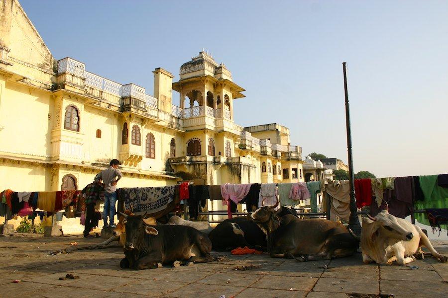 Stadtpalast Udaipur: Kühe auf einer Brücke