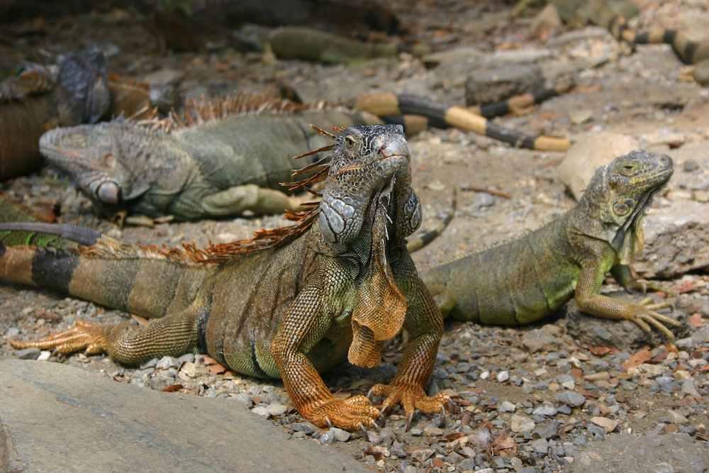 Leguane auf Roatan
