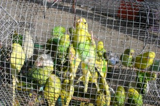 Sittiche zum Verkauf in Käfigen gesperrt in der Dominikanischen Republik