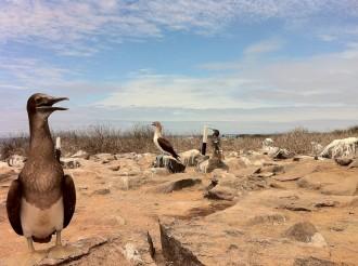 Nazca-Tölpel, lat. Sula granti (vorne) und Blaufußtölpel, lat. Sula nebouxii, hinten im Bild auf der Galapagos-Insel Española