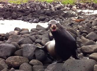 Seelöwe in Angriffslaune am Steg auf der Galapagos-Insel Español