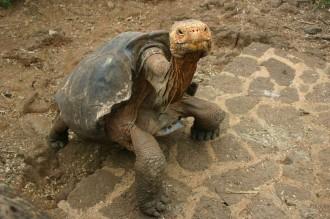 Santa Cruz: Diego ist der Star in der Zuchtstation auf dem Galapagos-Archipel
