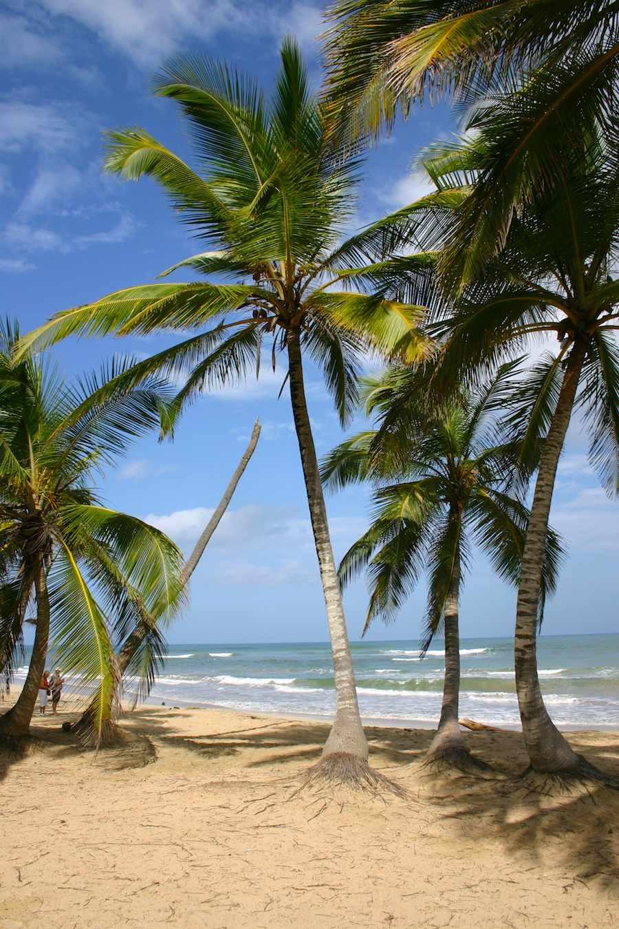 Cana-Fächerpalmen bei Punta Cana, Foto: Robert Niedermeier