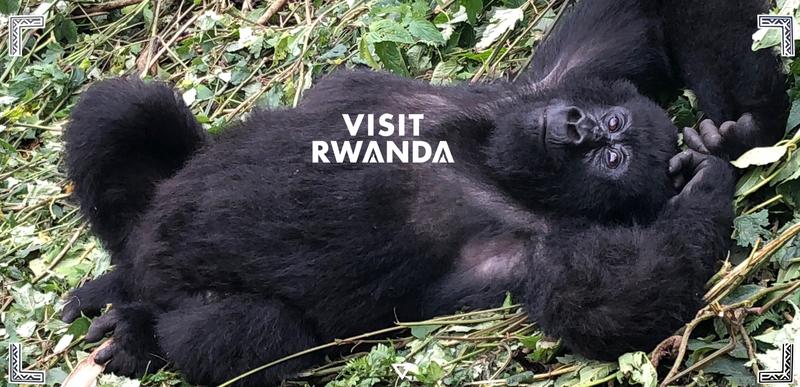 """Gorilla-Freundlichkeit in Ruanda: Über Ruanda """"Land der tausend Hügel"""" wird Ruanda wegen seiner hügeligen Landschaft genannt. Zu den berühmtesten Sehenswürdigkeiten zählen der Vulkan-Nationalpark mit den Berggorillas (berühmt geworden durch die Forscherin Dian Fossey), der Akagera-Nationalpark, der mit seiner Savanne zu Safaris einlädt, der urwüchsige Bergnebelwald in Nyungwe oder die Naturschönheit rund um den Kivu-See. Im Ethnographischen Museum in Huye lässt sich die Geschichte des Landes nachverfolgen, ebenso im Königspalast in Nyanza. Besonders sehenswert sind auch die heißen Quellen von Bugarama oder die beeindruckenden Rusumo-Wasserfälle an der Grenze zu Tansania. Ruanda gilt als eines der sichersten Reiseländer Ostafrikas, auch in Pandemiezeiten. Die touristische Infrastruktur - moderne Hotels in großen Städten sowie Lodges, Gästehäuser und Campingplätze rund um die Nationalparks – wird weiter ausgebaut. Aus Europa kommend landen die Flüge auf dem International Airport in der Hauptstadt Kigali, es gibt Umsteigeverbindungen über Brüssel, Amsterdam, Istanbul, Addis Abeba, Doha und Nairobi. Alle Informationen zum Reiseland Ruanda sind im Internet unter VisitRwanda.com zu finden, aber auch telefonisch bei der Deutschlandvertretung des Rwanda Development Boards, der Eyes2market GmbH, unter der Nummer +49 4101 696 8801."""