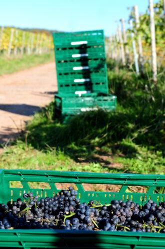Heitlinger Weinlese an den den großen Gewächsen der Weinrebensorte für den Koenigsbecher PinotNoir. Foto: ©WeingutHeitlinger_jochensteinmetz