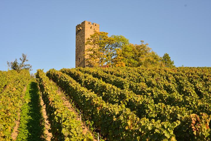 Seit 2010 sind Heitlinger und Burg Ravensburg biozertifiziert und setzen auf einen biologisch aktiven Boden als natürliche Voraussetzung für gesunde und stabile Reben.